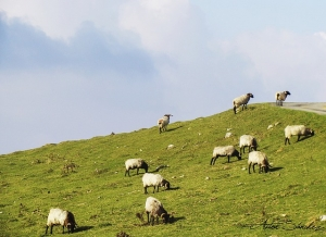 sheep-1406874_640