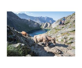 Vacas y senderistas, montaña, ibón
